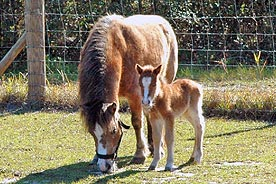 StarBrite Stables: Lizzy and Bucky, two miniature horses